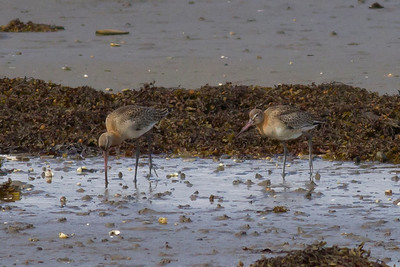 Black-tailed Godwit IMG_9381