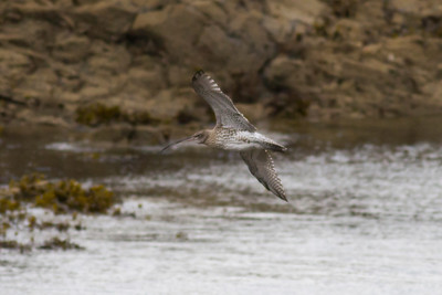 Curlew IMG_9510