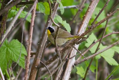 Common Yellowthroat IMG_2611