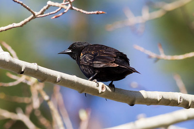 Blackbird IMG_3071