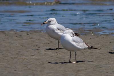 California Gull IMG_2930