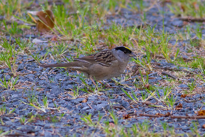 Golden-crowned Sparrow IMG_2773