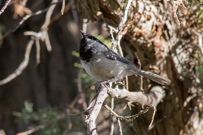 Black-capped Chickadee IMG_3049