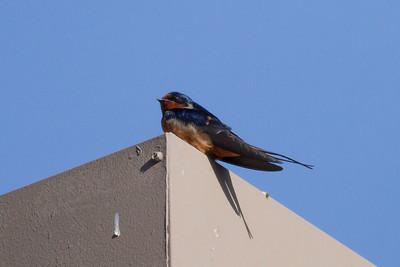 Barn Swallow IMG_3084