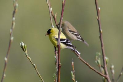 American Goldfinch IMG_2999