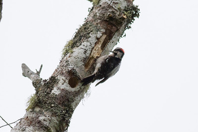 Downy Woodpecker IMG_2649