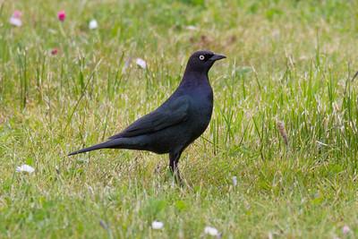 Brewer's Blackbird IMG_2675