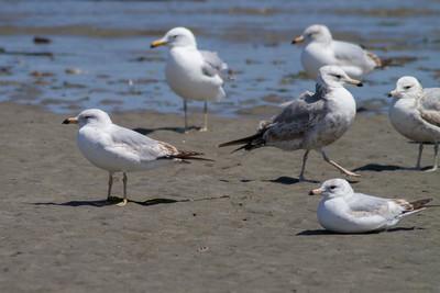California Gull IMG_2932