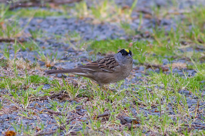 Golden-crowned Sparrow IMG_2775
