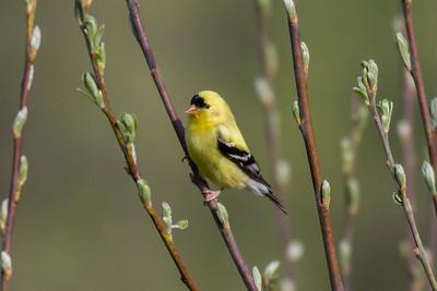 American Goldfinch IMG_3007
