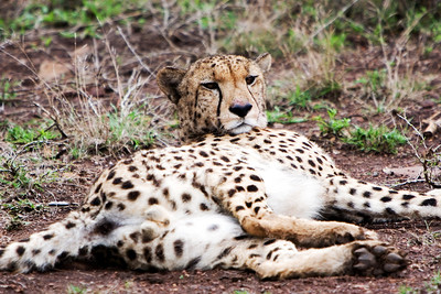 Cheetah after a kill at Phinda Game Reserve