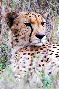 Cheetah at Phinda Game Reserve