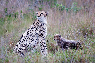 Mother and cub Cheetah at Phinda Game Reserve