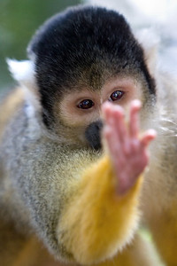 Squirrel Monkey at Monkeyland - Plettenber Bay