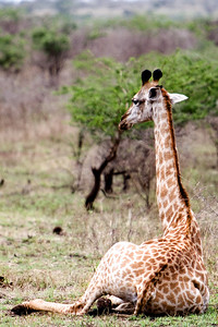 Giraffe at Zulu Nyala Game Reserve