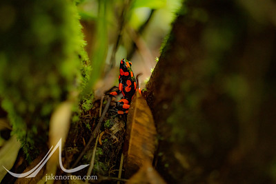 A poison dart frog hides in the dense jungle of Chocó, Colombia.