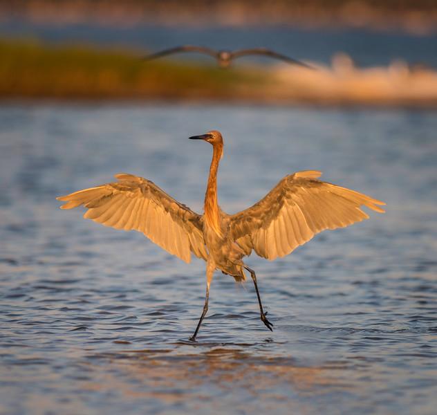 Reddish Egret fishing, with bird coming in overhead