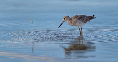 Willet and crab, eye to eye