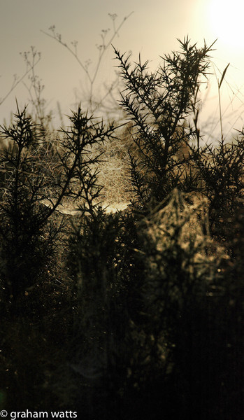 black thorns, Chella, Valencia, Spain. early morning mist and light creates a dramatic gothic image