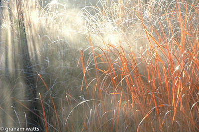 Pheasant's tail grass, Stipa arundinacea, Chella, Valencia, Spain An early winter's morning and the sun ray's created a beautiful scene as the light played through the early morning mist.