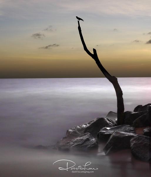 Lone tree - Negombo beach.