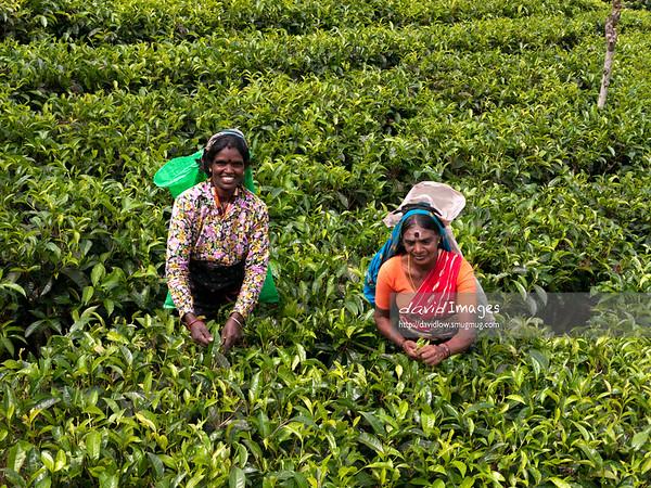 Tea leaves plucker