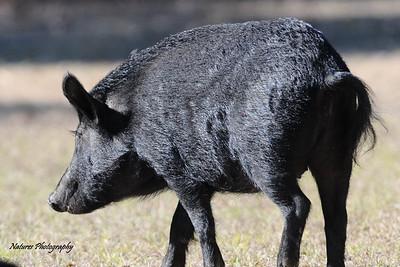 Georgia Feral Hogs