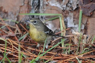 Female Pine Warbler