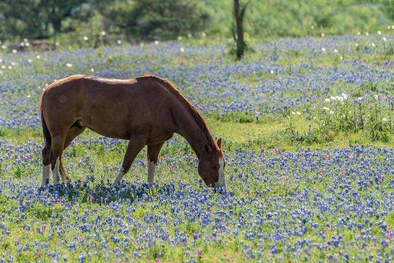 Horse in Bluebonnets