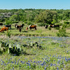Cattle with  Bluebonnets