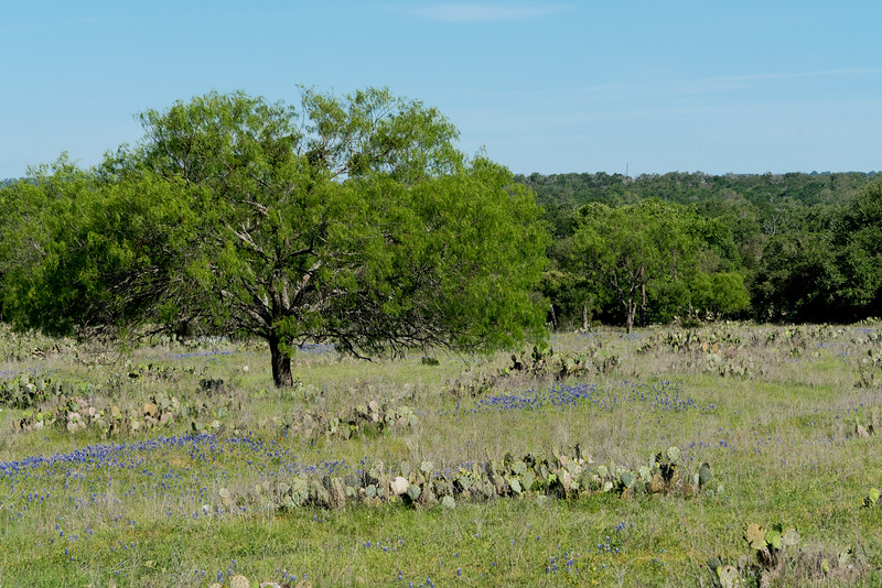 Bluebonnets and Tree