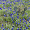 Bluebonnets and Cacti