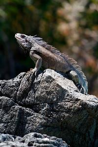 Wild Iguana, Coki Beach