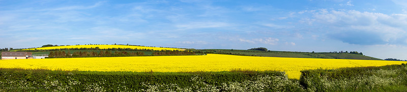 Field of rapeseed in western England