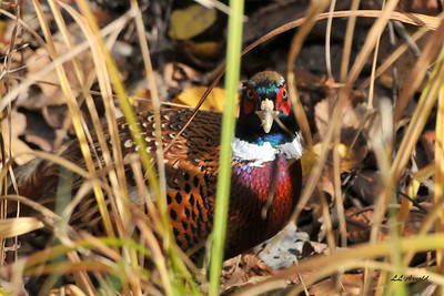 Rooster Ring-necked Pheasant