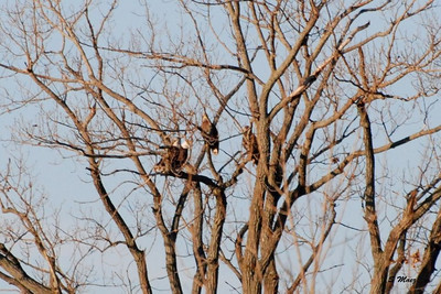 2 Mature and 2 Immature Eagles