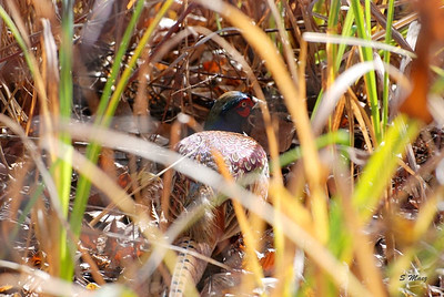 Dont I blend in - Ring-necked Pheasant