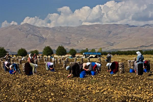 Potato field; potatos being picked