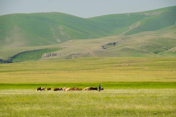 Cattle grazing in pastures around Ani. Eastern Turkey.