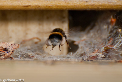 Bee with pollen landing at hive entrance