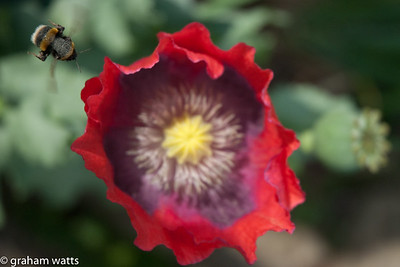 Bumblebee flying into a poppy