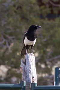 Black-billed Magpie IMG_1588