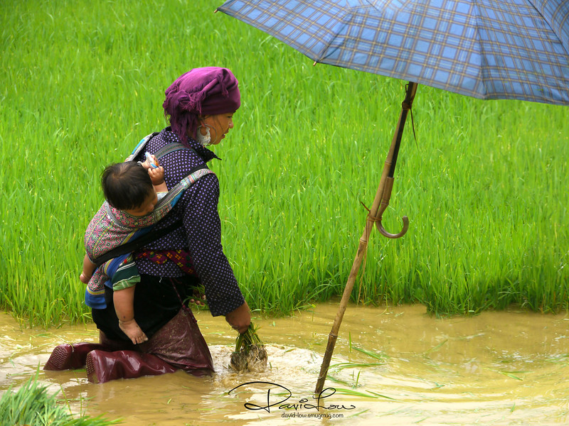 "Mother and child - My mood was quite despondent when I saw the mother tending to the fields with a toddler in tow, shifting about the umbrella to shield the little one. To my surprise, she gave me a warm smile when she saw me photographing them.  I like especially the rich colours but not so much about the ""scene"" The scenario reinforced me that the strongest magnet for a photographer is not just the final image but also the discovery about human being's determination in life and the will to strive for survival."