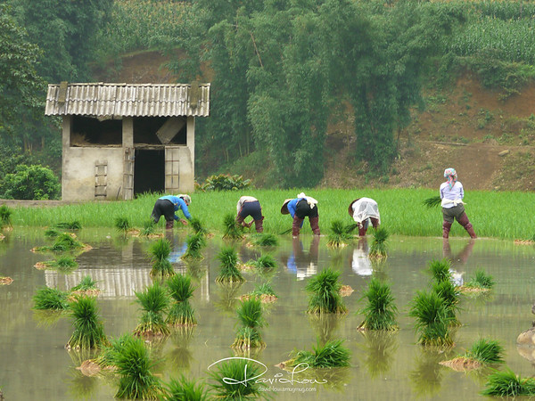 Rice planting - It is calculated that in order to cultivate a kilo of rice around 3,000 to 10,000 litres of water are needed. The spectacular mountainous rice fields of North Vietnam, ingenious fruit of integration of people together with its surrounding nature, were engraved by generations using ancient methods.