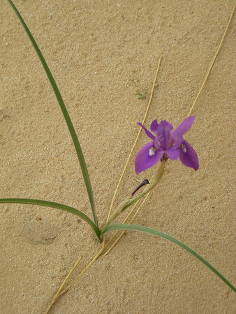 desert iris in bloom - April 2008