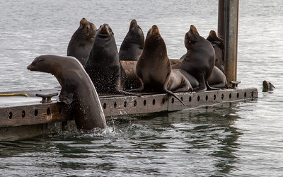 Sea lions, Westport Marina, Westport, WA.