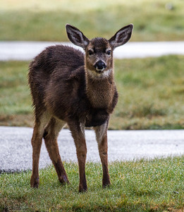 A deer that wondered out of the Grays Harbor National Wildlife Refuge and into the airport grounds.
