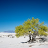 White Sands Tree