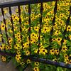 Yellow Flowers, Wilmington, Illinois