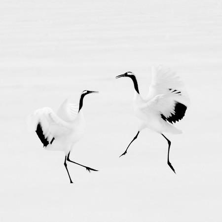 42-Red crowned crane dancing